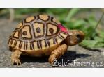 Bazar.Vylepeno.cz - ŽELVY PARDÁLÍ – vlastní